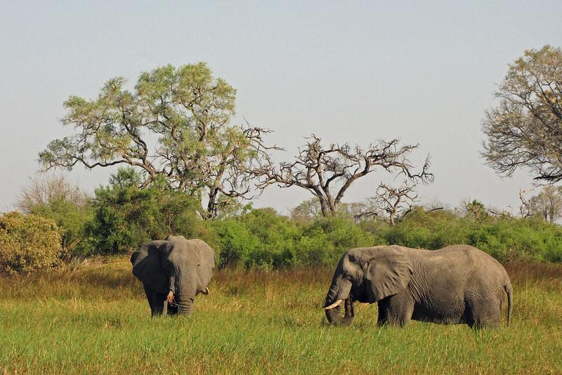 Elephants feeding in the marsh