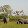 Elephants feeding in the marsh