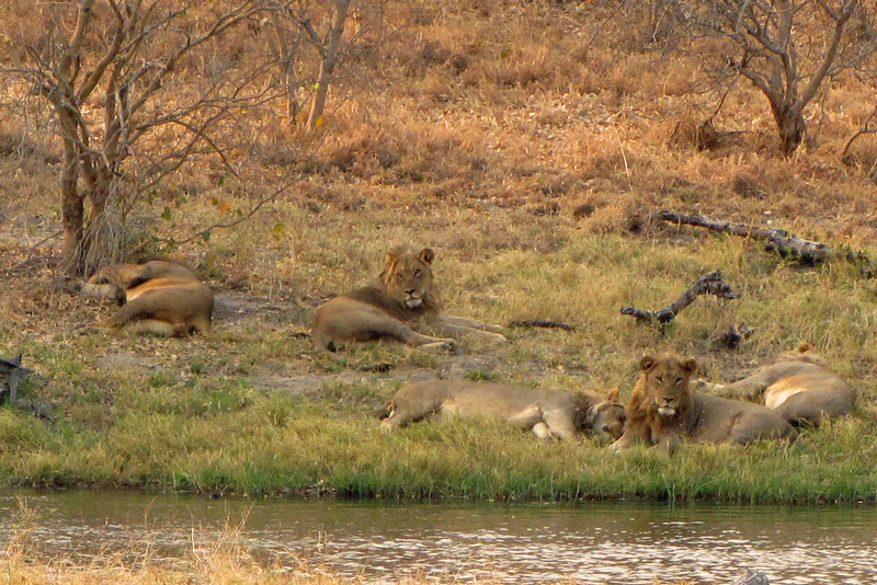 These five young male lions will make an incredible coalition some day.