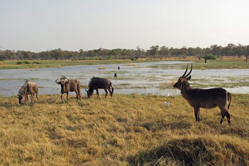 Waterbuck with Wildebeest