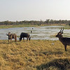 Waterbuck with Wildebeest