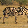 Zebras (with shadow stripes) and Helmeted Guineafowl
