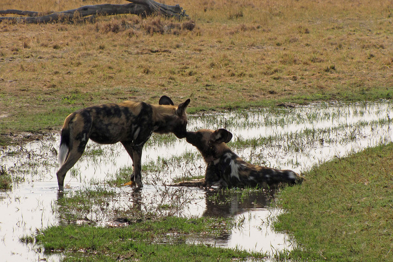 Wild Dogs cooling off - This water is not from rain, but from water pushing into the Savuti Marsh.