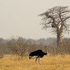 "Male Ostrich with Baobab tree (""Upside Down Tree"") in the background"