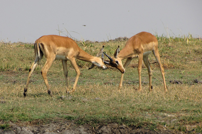 Young male Impala sparring