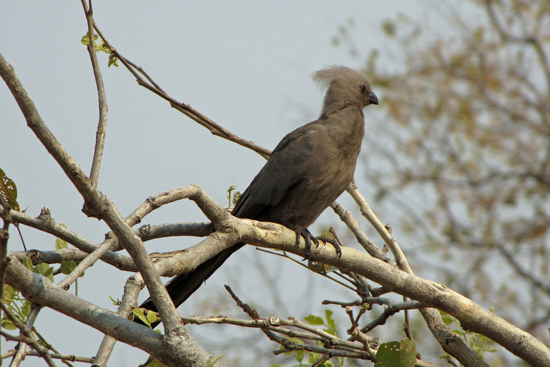 "Grey Lourie or ""Go-Away"" Bird"
