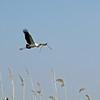 Yellow-Billed Stork bringing in nesting materials