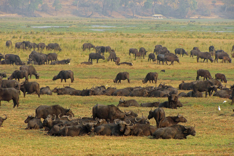 We saw huge herds of buffalo and elephant along the Chobe River.