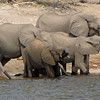Quenching their thirst in the dry season; the Chobe is the only source of water in the area.