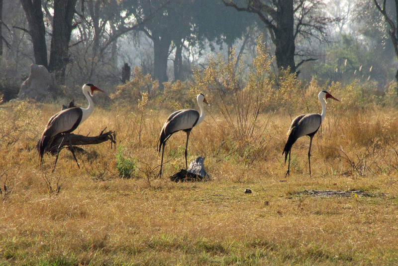 Wattled Cranes joined us on the walk.