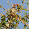 "Red-Billed Hornbill - the ""Flying Chili Pepper"""