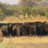 Herd of buffalo in a defensive circle; we never could find what was making them so nervous.