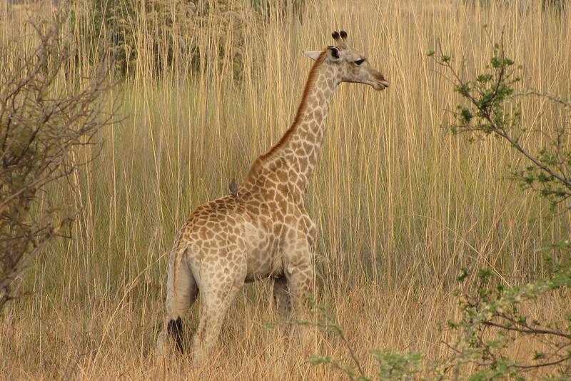 Juvenile giraffe in the reeds