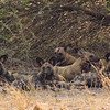 Wild Dogs! A pack of five in the Savuti Marsh
