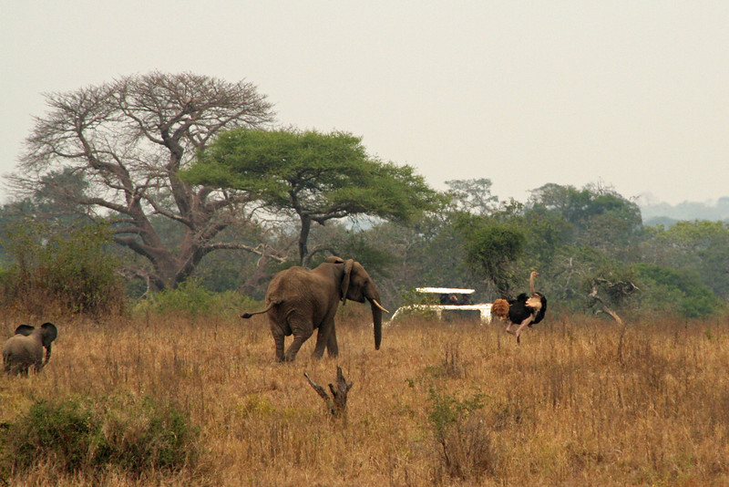 Elephant Chasing an Ostrich Away from Her Baby