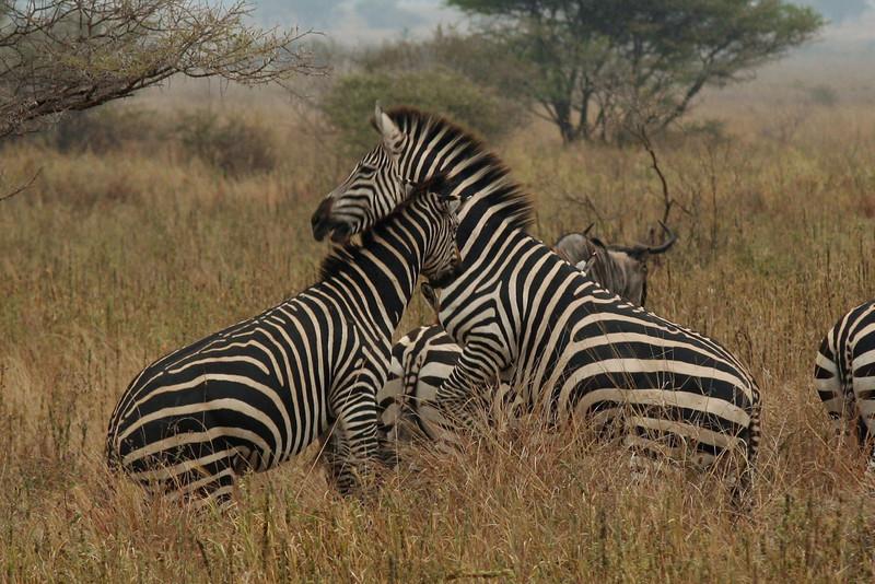 Zebra Stallions Battle