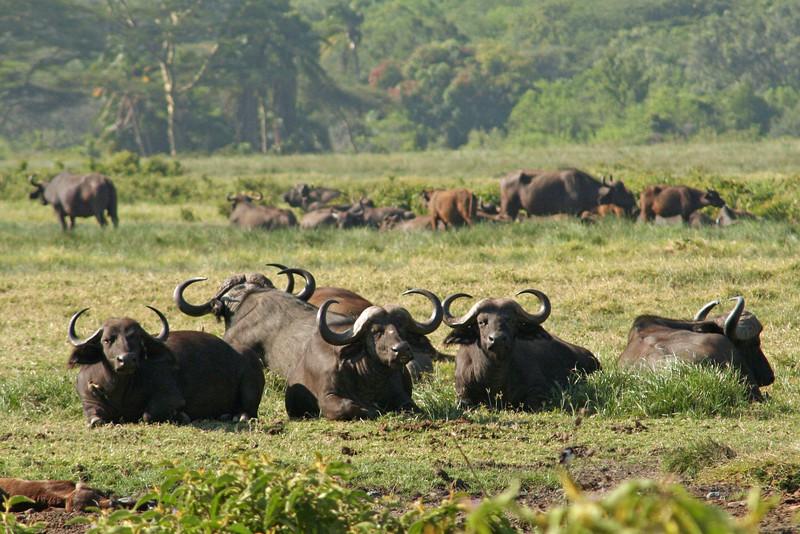 Relaxed Buffalos