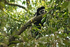 Black & White Colobus Monkey Watches Us