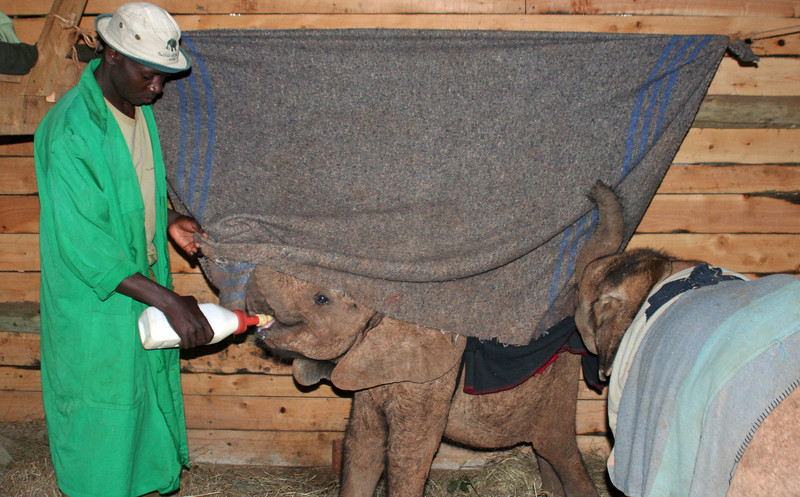 Sheldrick Elephant Orphanage; Blanket Simulates Bulk of Mother Elephant