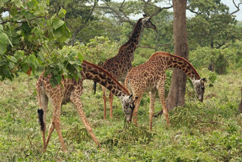 Browsing Low; Giraffes at Arusha N.P.