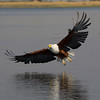 African Fish Eagle - magnificent birds