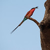 Male Bee Eater with Bee.