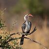 Hornbill, Kgalagadi Desert, Africa