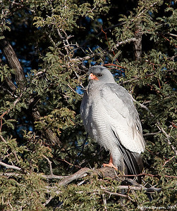 Pale Chanting Goshawk (Melierax canorus), South Africa.