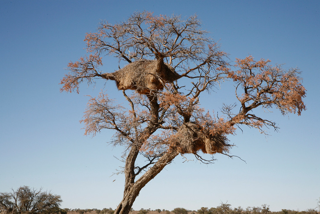Sociable Weaver Nests in Acacia Tree. There are often hundreds of nesting pairs in a single nest.