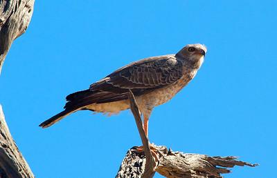 Lanner Falcon - Kgalagadi National Park, SA