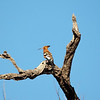 African Hoopoe, shot in the Kgalagadi Deseert, Africa
