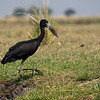 Open Billed Stork, Chobe Botswana