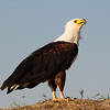 The African Fish Eagle (Haliaeetus vocifer)<br /> The African Fish Eagle is a large bird, and the female, at 3.2-3.6 kg (7-8 lbs) is larger than the male, at 2-2.5 kg (4.4-5.5 lbs). Males usually have a wingspan of about 2 m (6 feet), while females have wingspans of 2.4 m (8 feet). The length is 63-75 cm (25-30 in). They are very distinctive in appearance with a mostly brown body and large, powerful, black wings. The head, breast, and tail of African Fish Eagles are snow white and the hook-shaped beak is mostly yellow with a black tip.