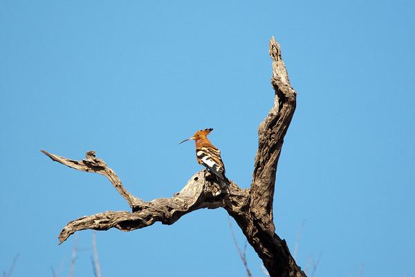 African Hoopoe, Shot in the Kgalagadi Desert, Africa