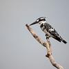 Female Kingfisher, Africa