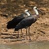 Woollynecked Storks