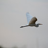 Great White Egret, Sequence of flight shots flying over the Chobe River, Botswana