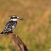 Kingfisher, Chobe River Botswana