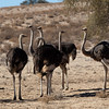Ostrich group.