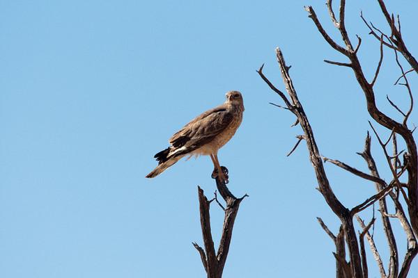 Lanner Falcon