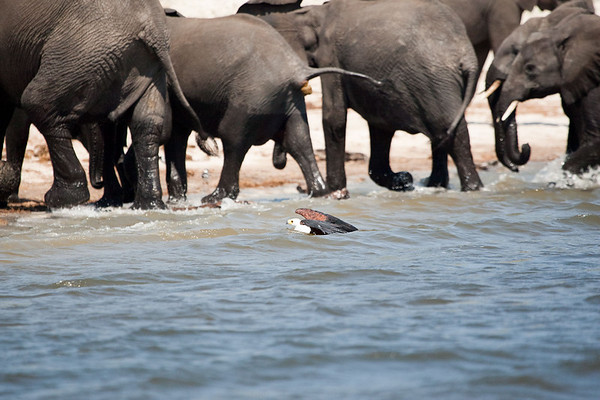 African Fish Eagle with Tiger Fish too large to lift out of the water, stampedes a herd of Elephants as it refused to give up it's meal.