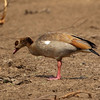 Egyptian Goose at Waterhole