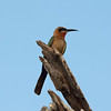 Female Bee Eater, Africa