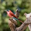 Crimson Bee Eater - Chobe, Botswana