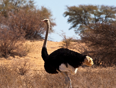 Ostrich wandering in the Kgalagadi Desert. Africa