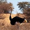 Ostrich wandering in the Kgalagadi Desert. Africa