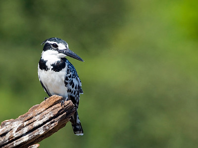 A Pied Kingfisher on it's favorite perch near Chobe, Botswana