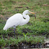 Great White Egret, with Fish, Chobe River, Botswana