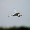 Great White Egret, Flying over the Chobe River, Botswana
