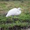 Great White Egret, with Fish, Chobe River, Botswana